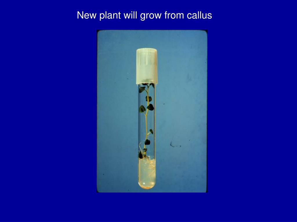 New plant will grow from callus