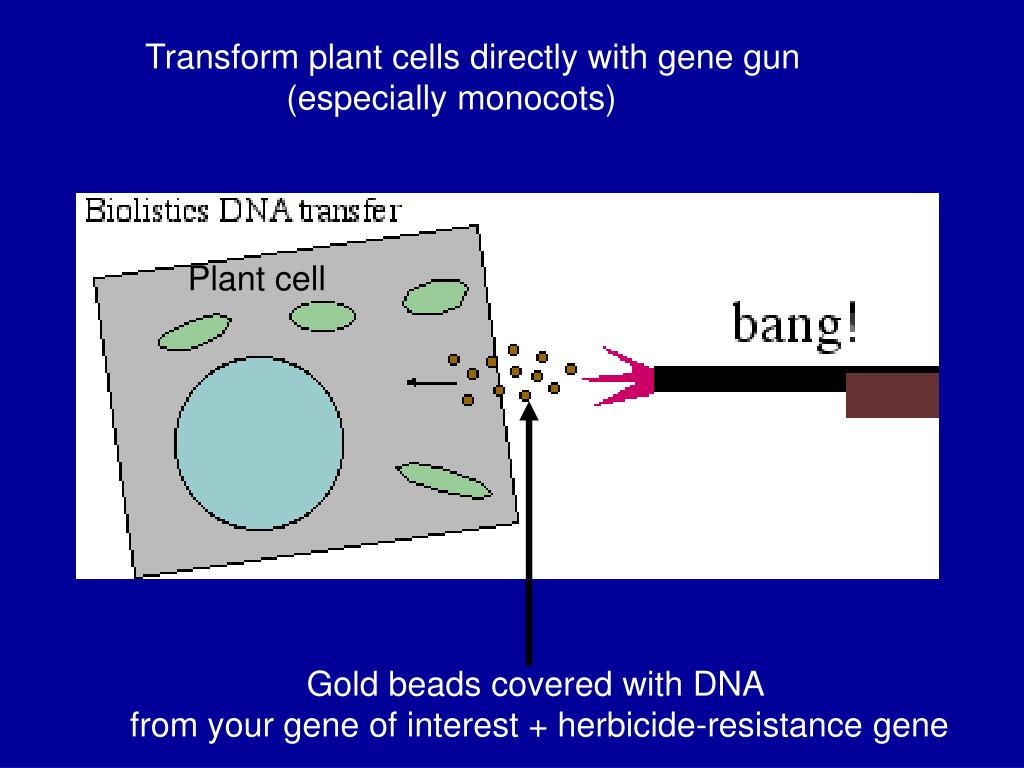 Transform plant cells directly with gene gun