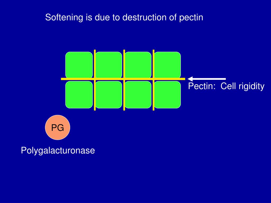 Softening is due to destruction of pectin