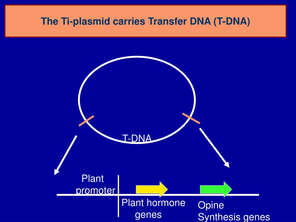 The Ti-plasmid carries Transfer DNA (T-DNA)