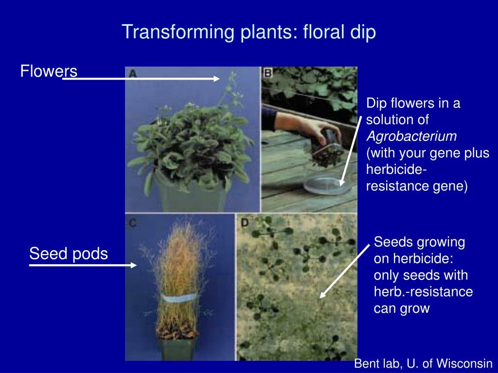 Transforming plants: floral dip