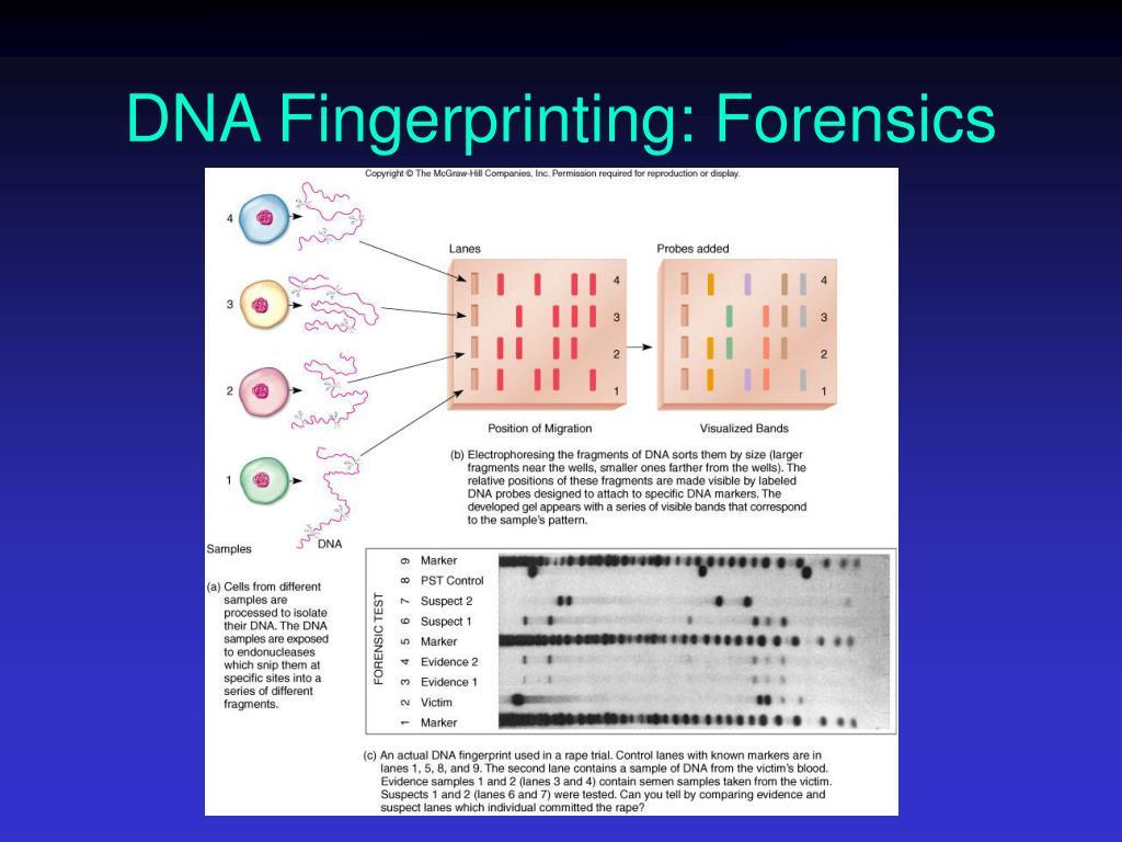 DNA Fingerprinting: Forensics