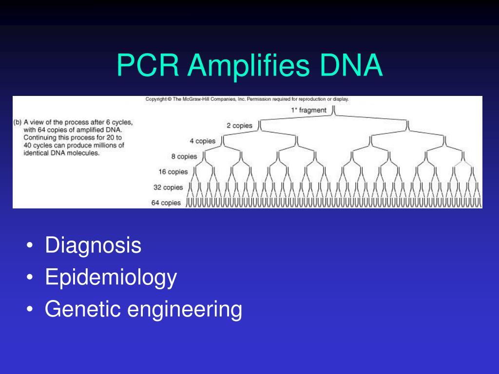 PCR Amplifies DNA