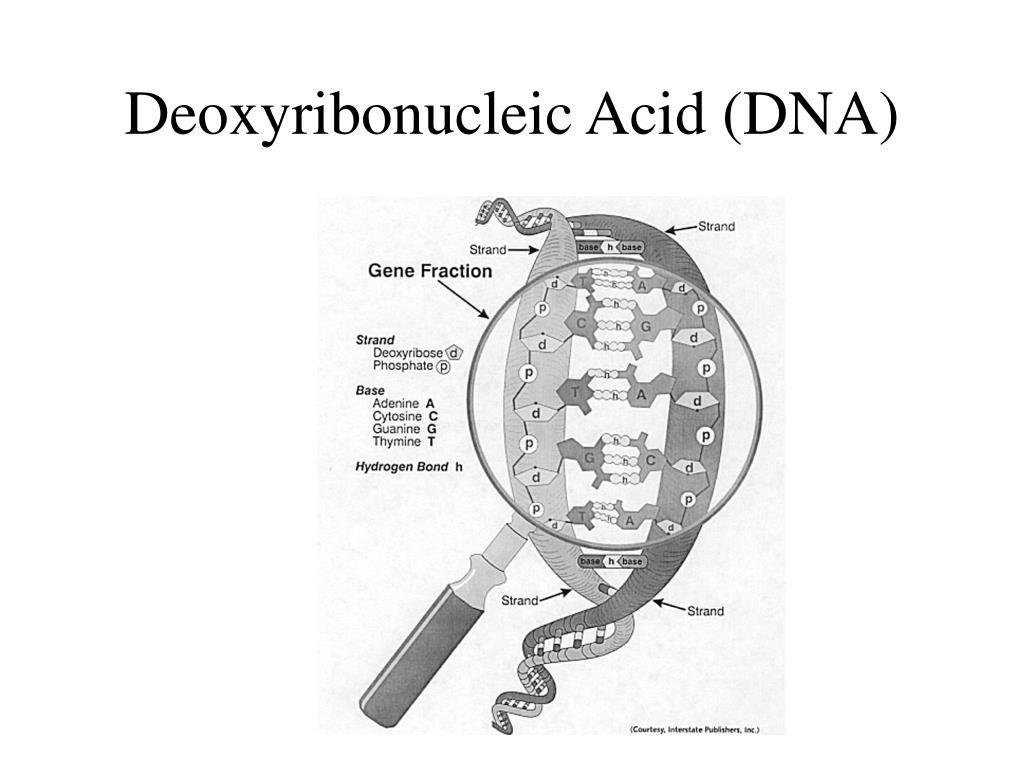 Deoxyribonucleic Acid (DNA)
