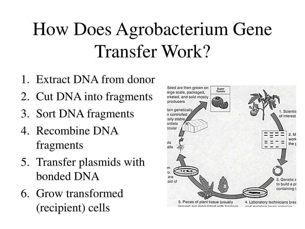 How Does Agrobacterium Gene Transfer Work?