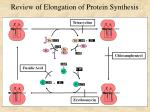 review of elongation of protein synthesis