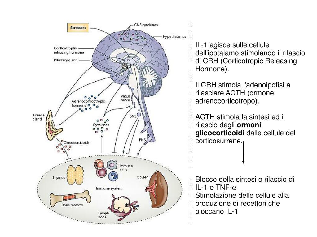 IL-1 agisce sulle cellule dell'ipotalamo stimolando il rilascio di CRH (Corticotropic Releasing Hormone).