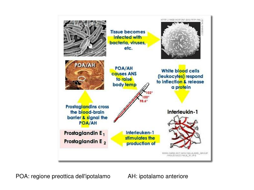 POA: regione preottica dell'ipotalamo           AH: ipotalamo anteriore