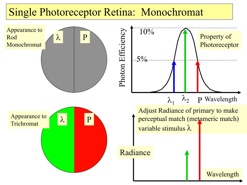 Single Photoreceptor Retina:  Monochromat