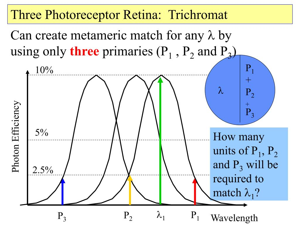 Three Photoreceptor Retina:  Trichromat