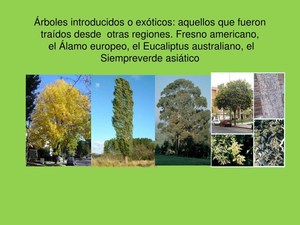Árboles introducidos o exóticos: aquellos que fueron traídos desde  otras regiones. Fresno americano,