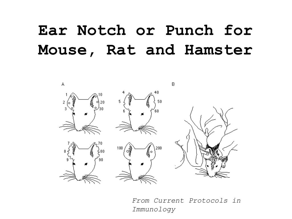 Ear Notch or Punch for Mouse, Rat and Hamster