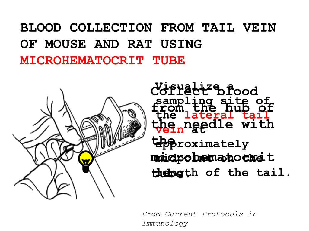 BLOOD COLLECTION FROM TAIL VEIN OF MOUSE AND RAT USING
