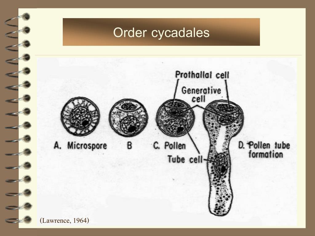 Order cycadales