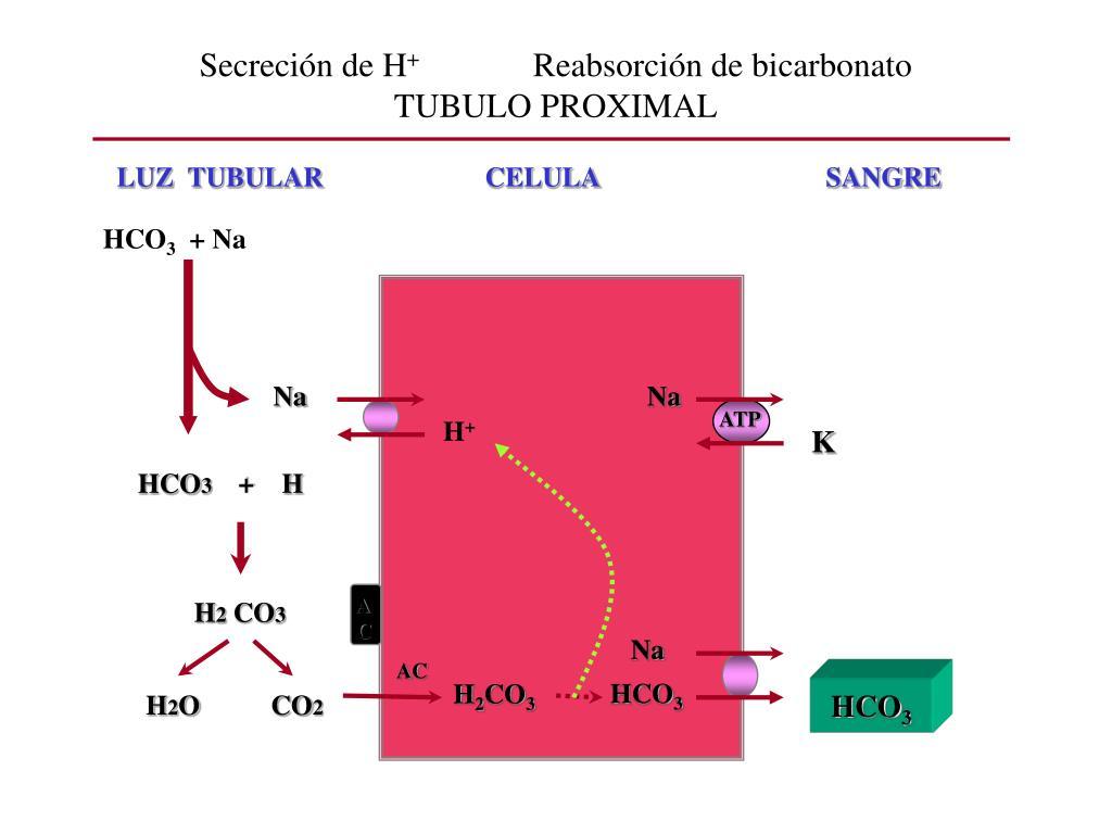 Secreción de H