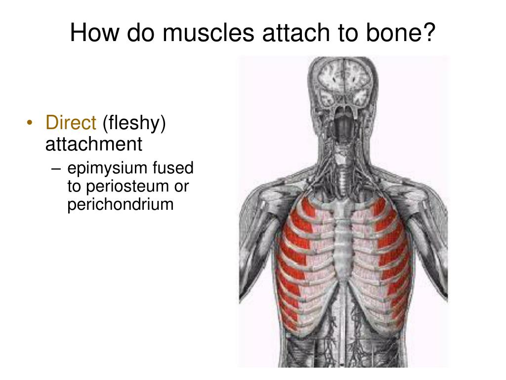 How do muscles attach to bone?