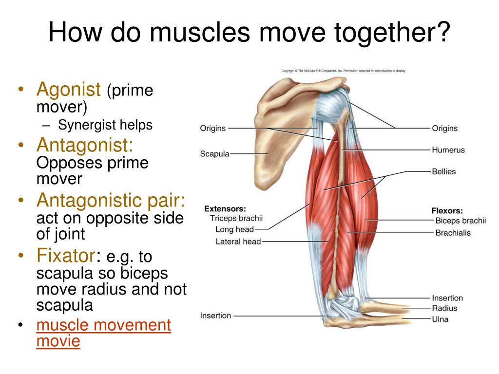 How do muscles move together?