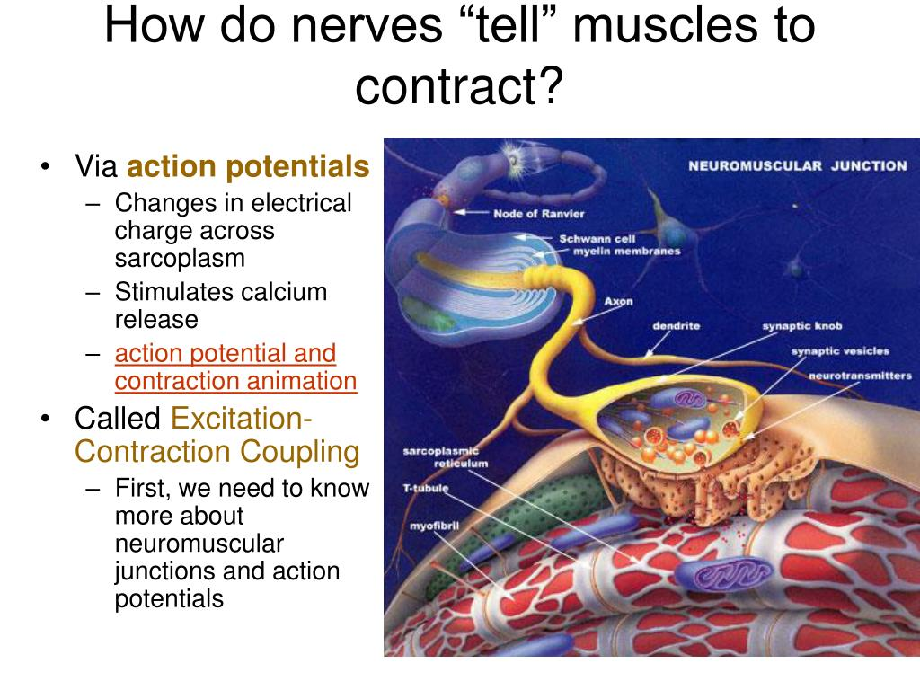"""How do nerves """"tell"""" muscles to contract?"""