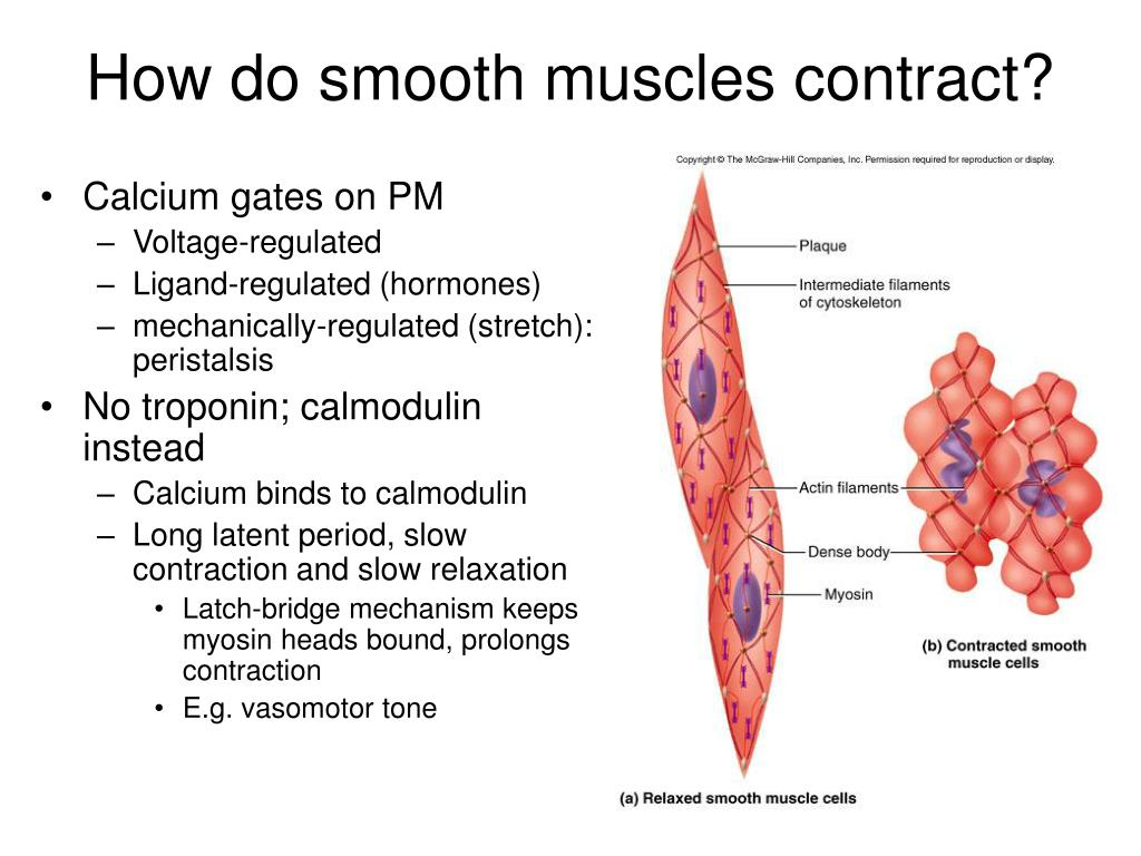 How do smooth muscles contract?