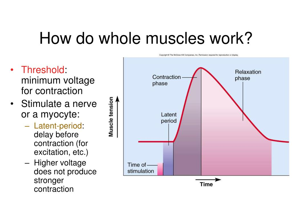 How do whole muscles work?