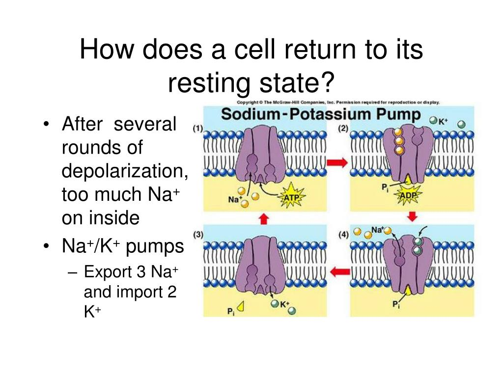 How does a cell return to its resting state?