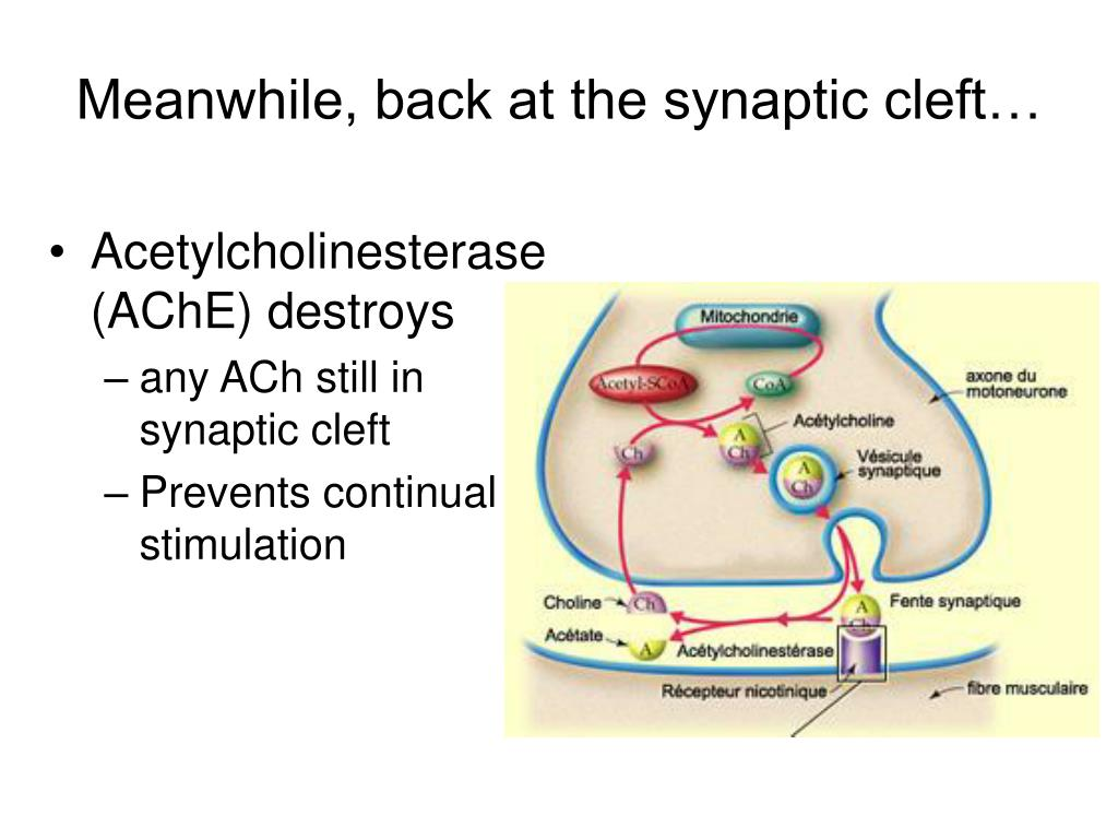 Meanwhile, back at the synaptic cleft…