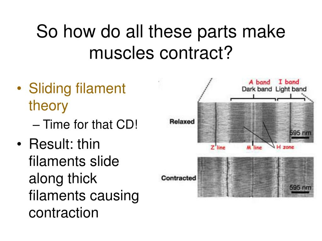 So how do all these parts make muscles contract?