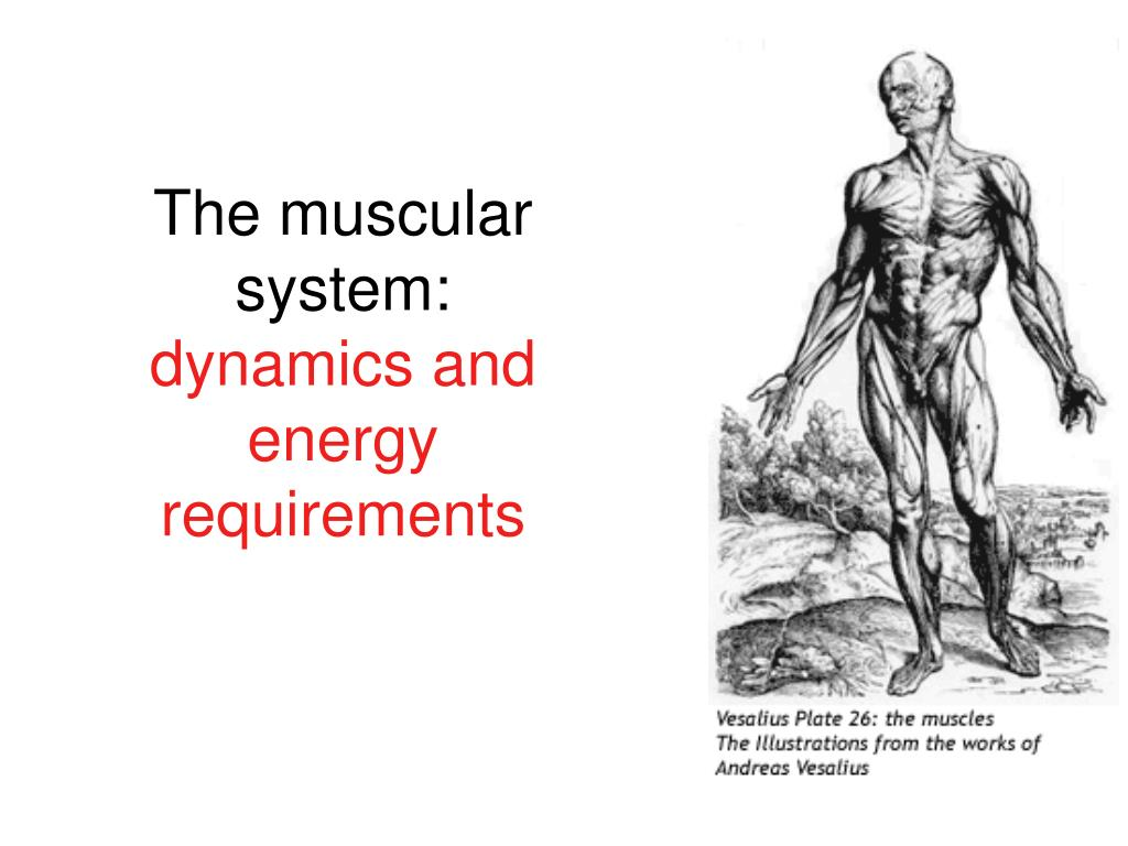 The muscular system: