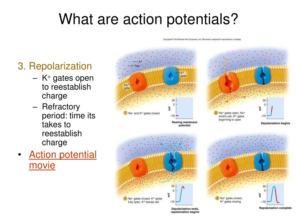 What are action potentials?