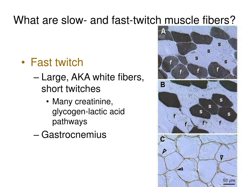 What are slow- and fast-twitch muscle fibers?