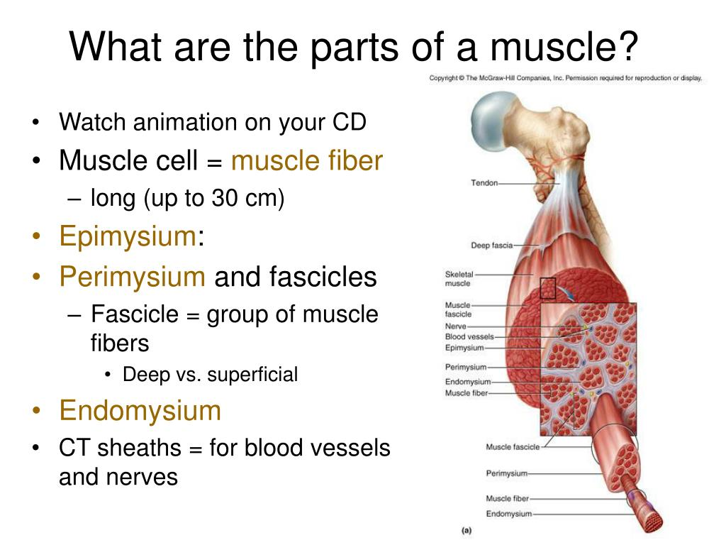 What are the parts of a muscle?