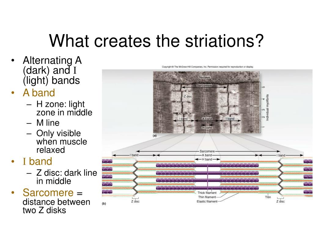 What creates the striations?