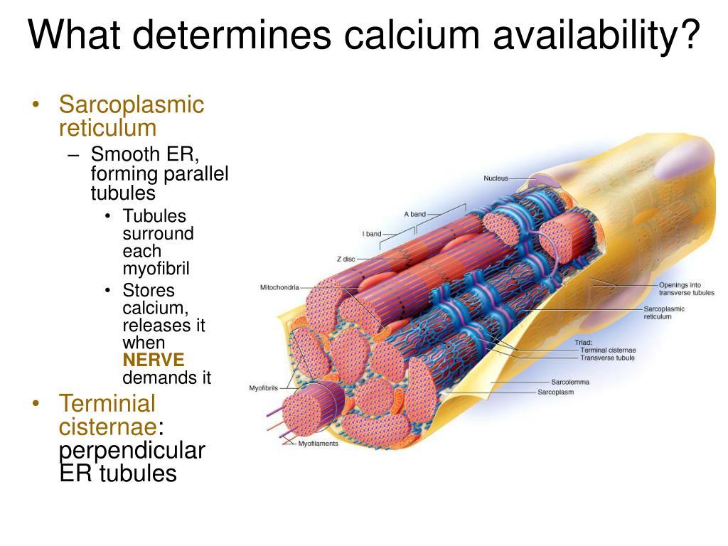 What determines calcium availability?