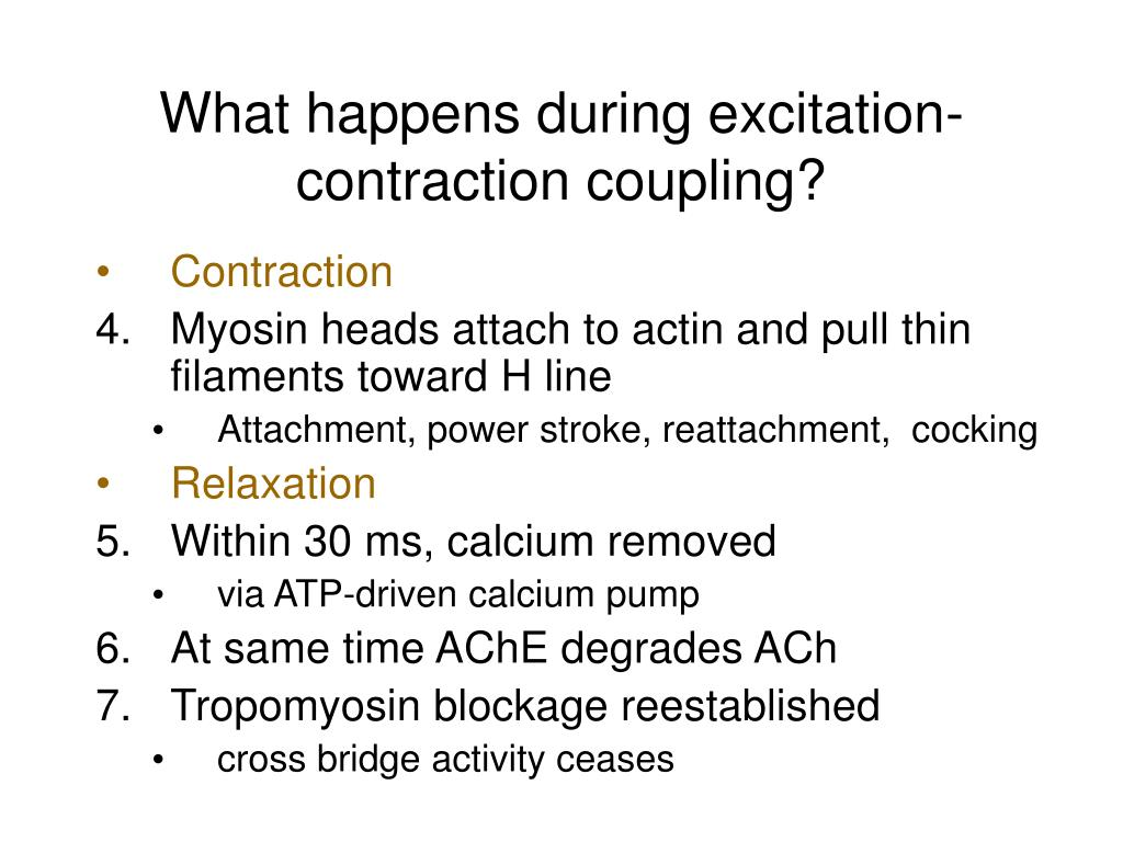 What happens during excitation-contraction coupling?