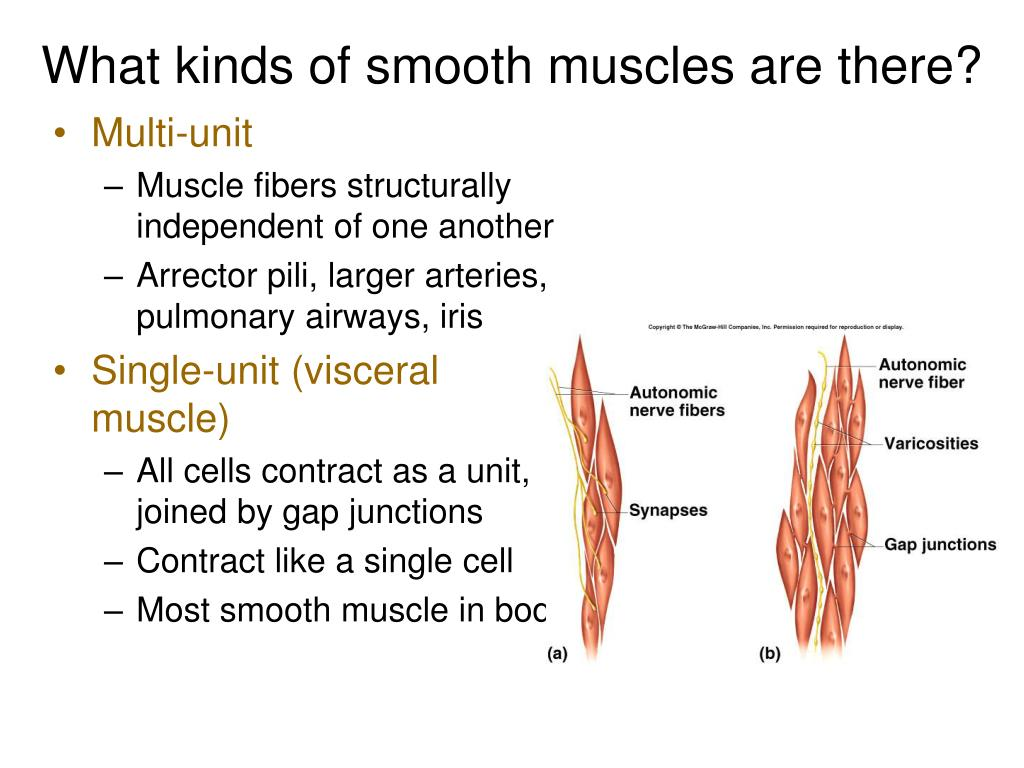 What kinds of smooth muscles are there?