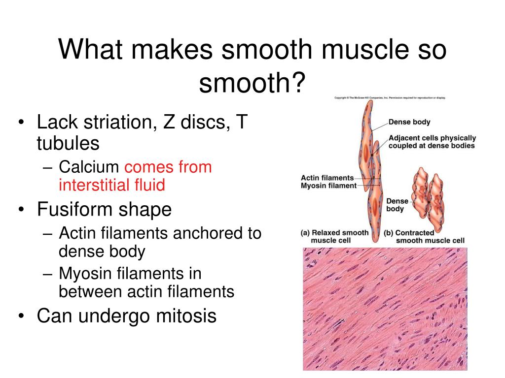 What makes smooth muscle so smooth?
