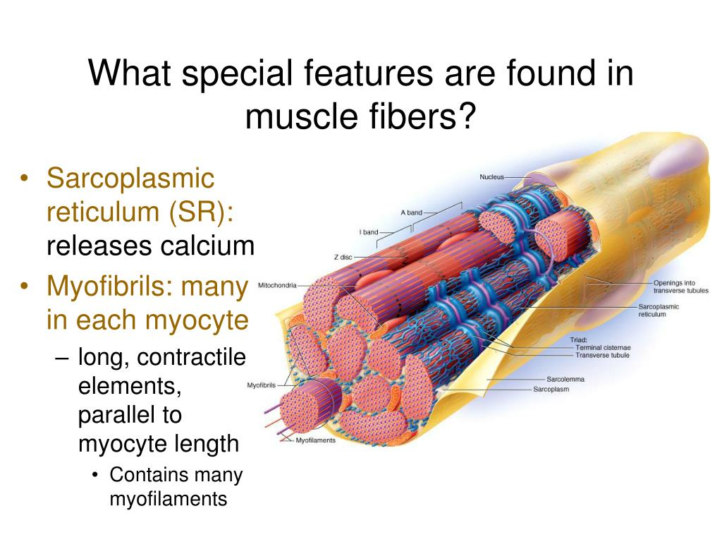 What special features are found in muscle fibers?