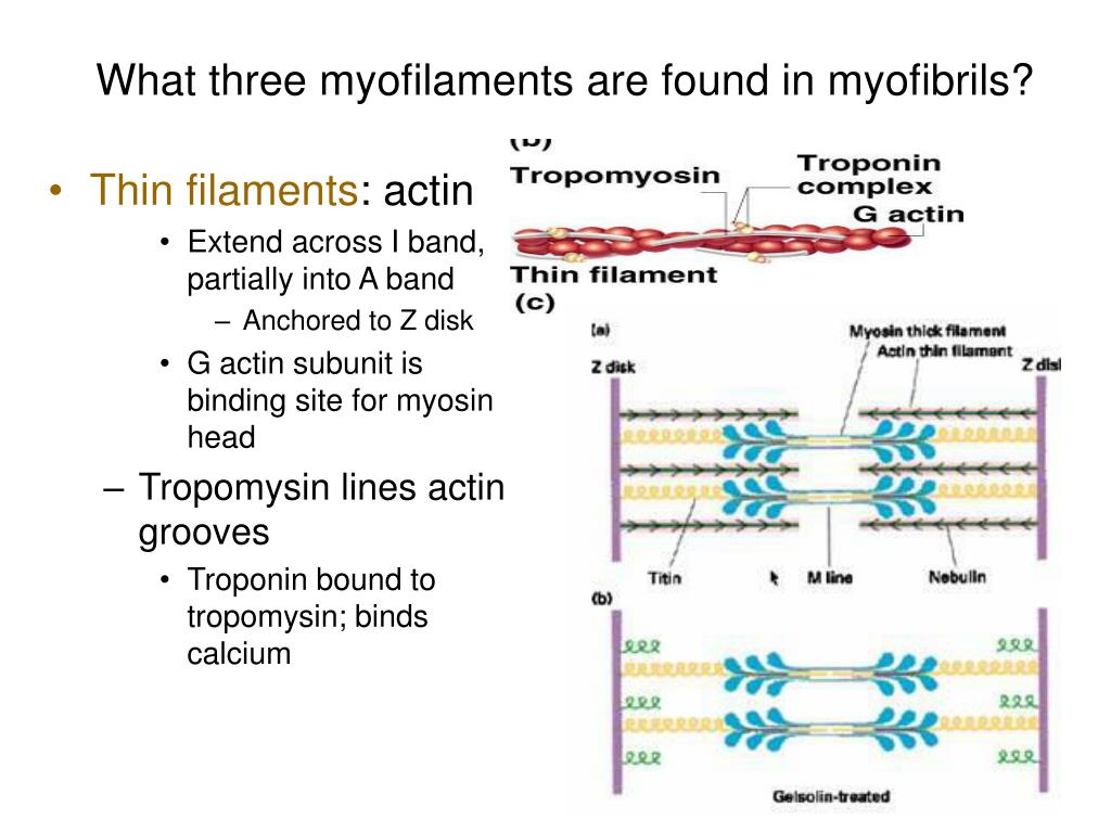 What three myofilaments are found in myofibrils?