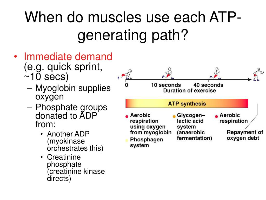 When do muscles use each ATP-generating path?