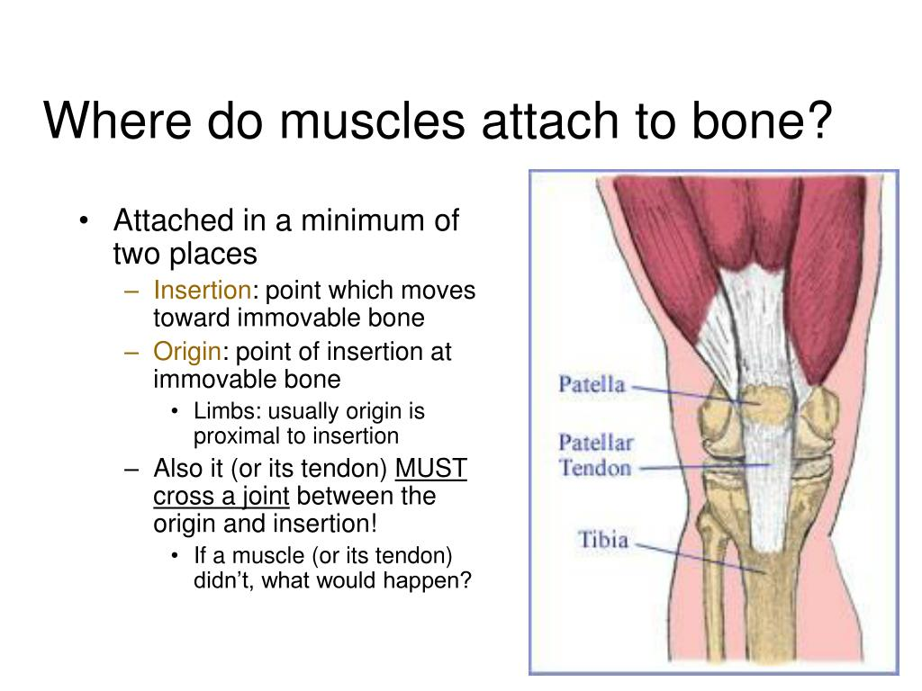 Where do muscles attach to bone?