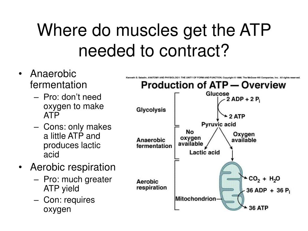 Where do muscles get the ATP needed to contract?
