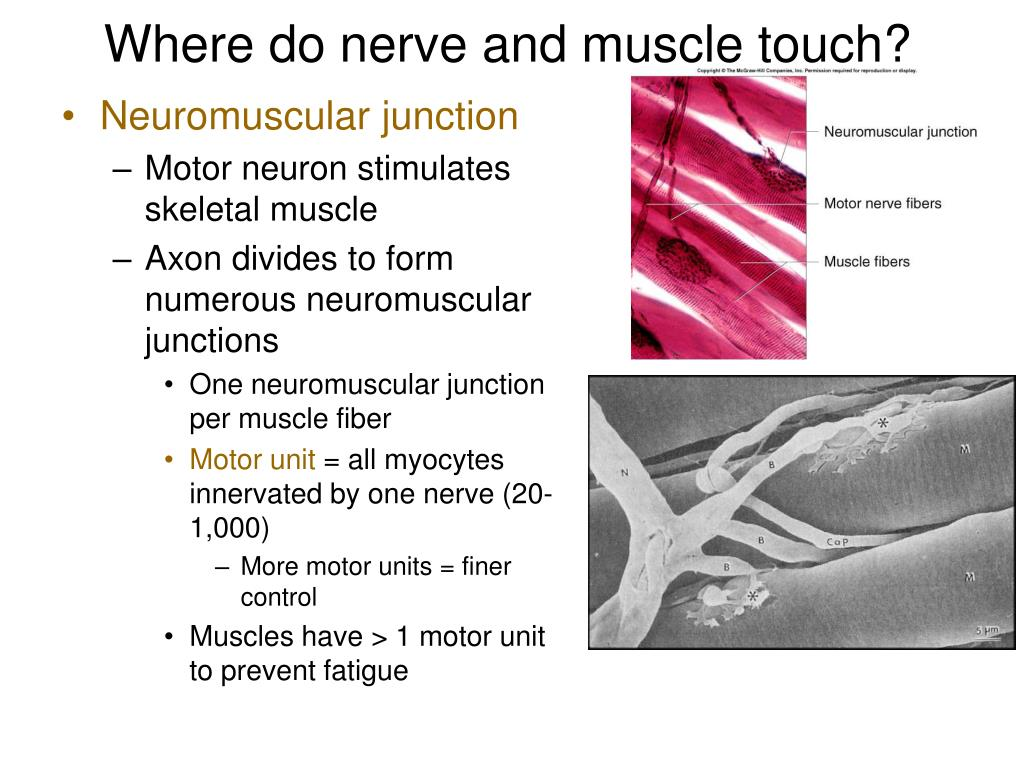 Where do nerve and muscle touch?