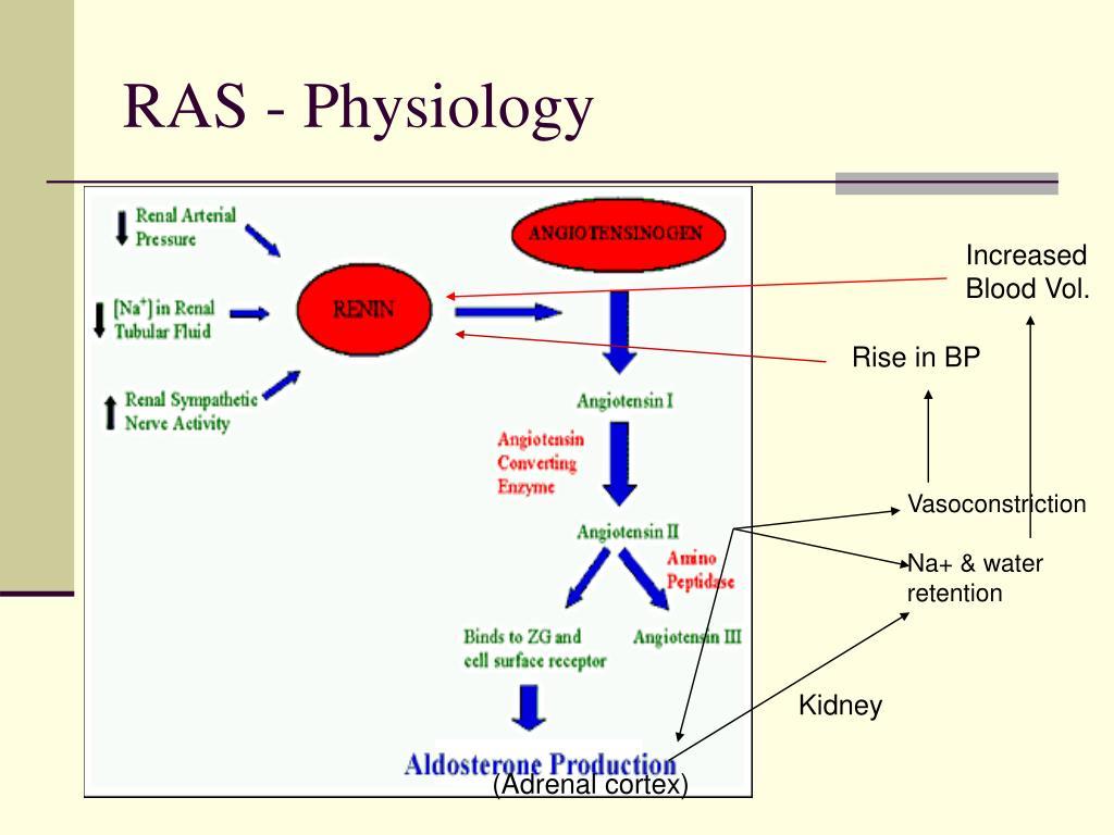 RAS - Physiology