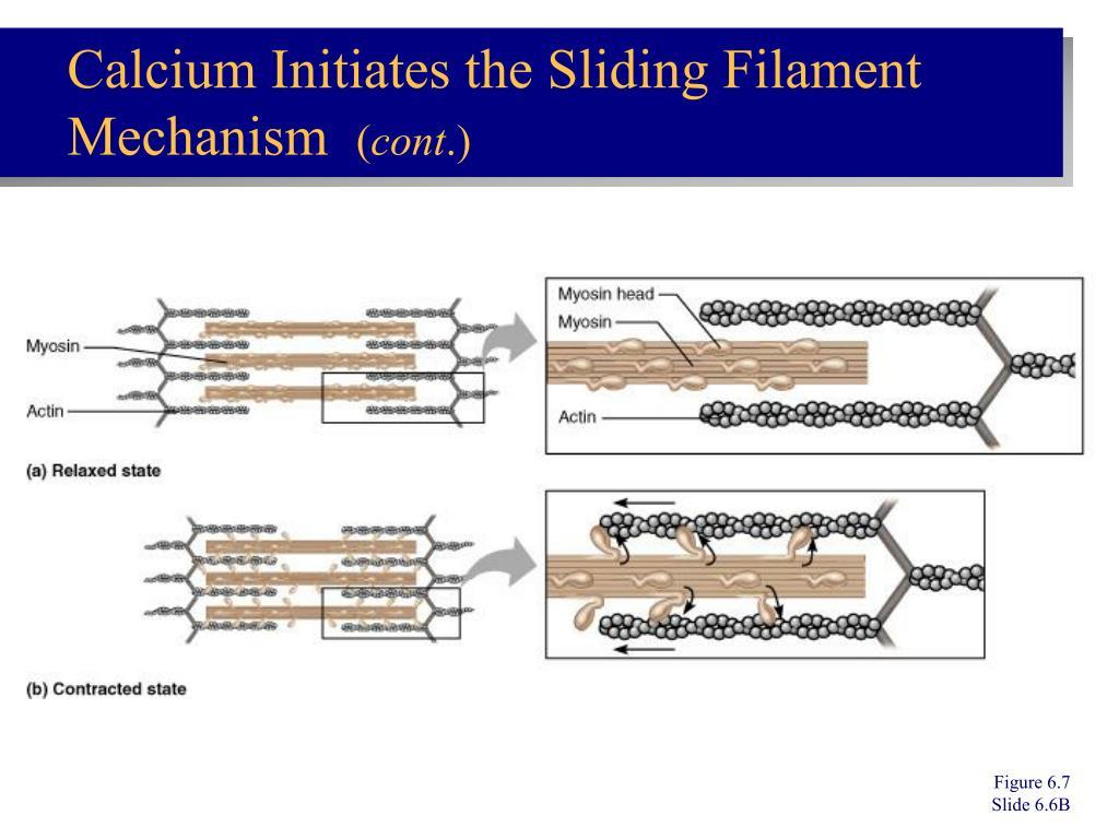 Calcium Initiates the Sliding Filament Mechanism