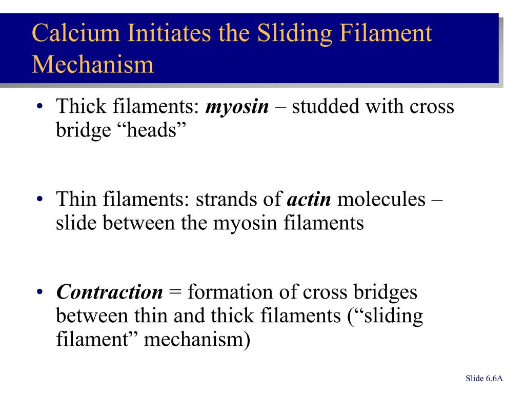 Thick filaments:
