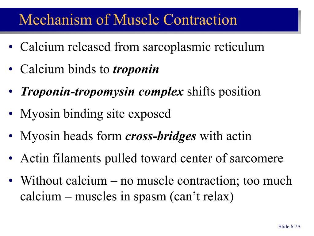 Calcium released from sarcoplasmic reticulum