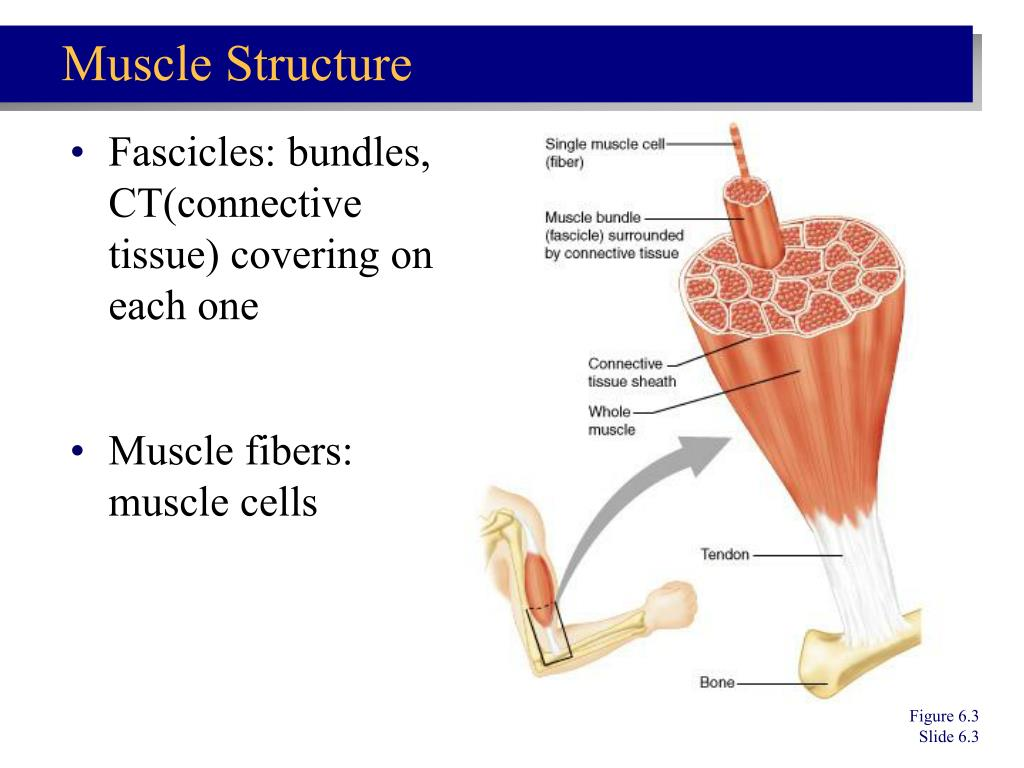Fascicles: bundles, CT(connective tissue) covering on each one