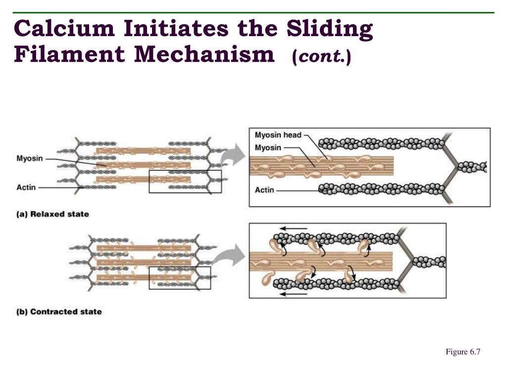 Calcium Initiates the Sliding Filament Mechanism