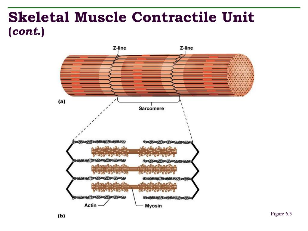 Skeletal Muscle Contractile Unit