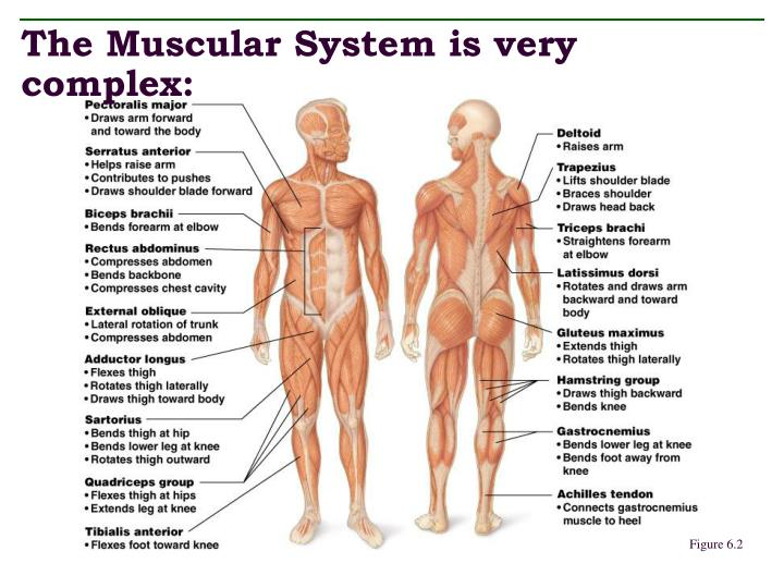 The muscular system is very complex